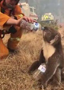 koala-asks-water