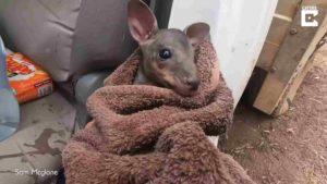 farmer-rescues-kangaroo-2