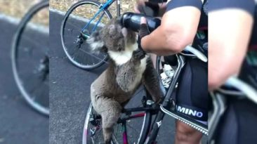 koala-australia-fire