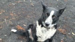 border-collie-rescues-sheeps