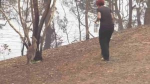 woman-gives kangaroo-water-australia-fires