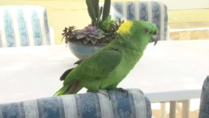 parrot-calls-police-3