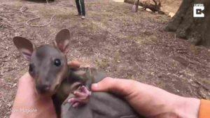farmer-rescues-kangaroo-3