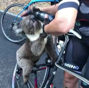 Koala-begs-cyclists-water