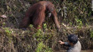 orangutan helping man out of water