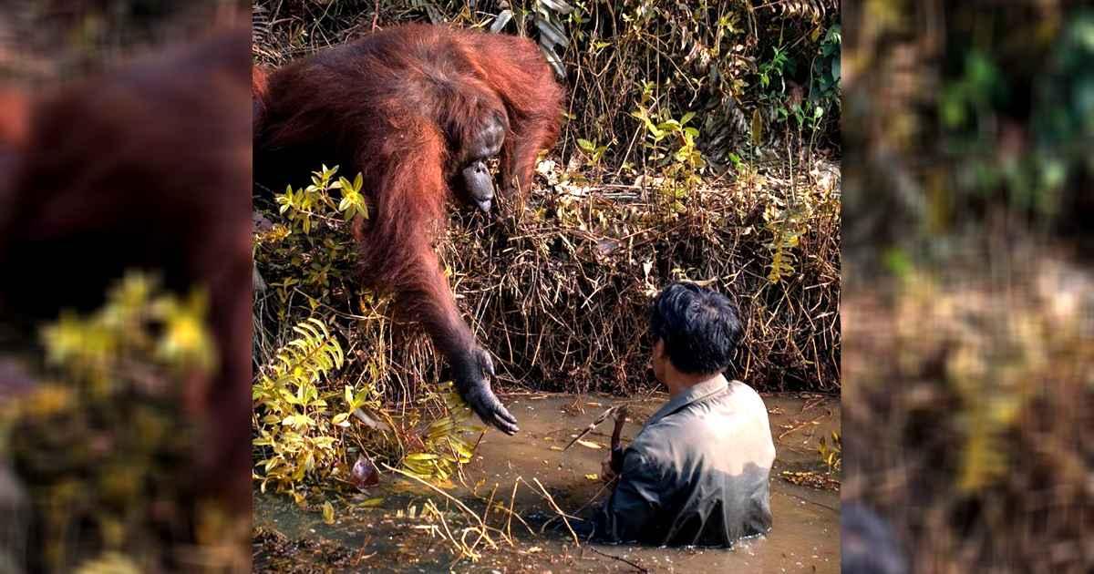 orangutan-saves-man