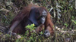 orangutan helps man