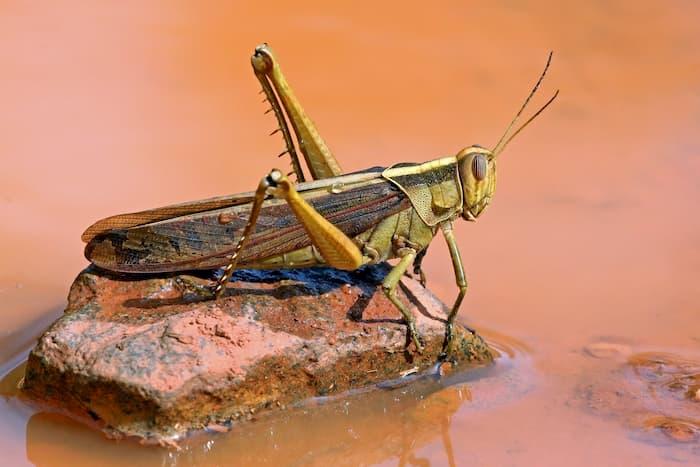 locust-bible