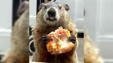 groundhog-eating-pizza