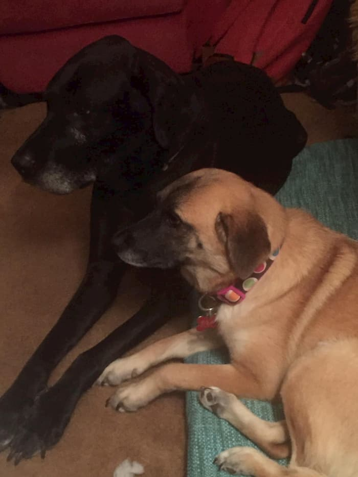 dog-returns-to-foster-mom-3