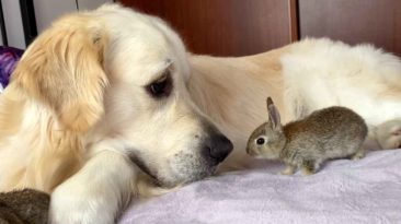 golden-retriever-and-baby-bunnies