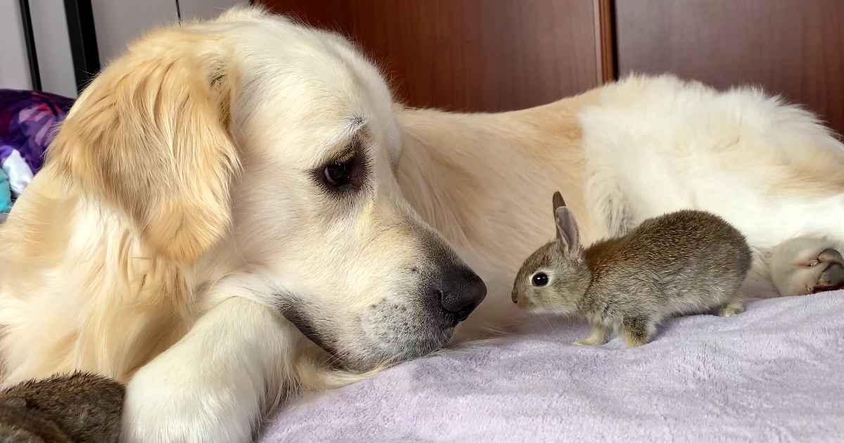 golden-retriever-and-baby-bunnies