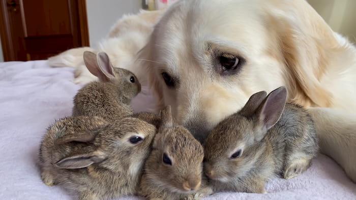 golden-retriever-baby-bunnies