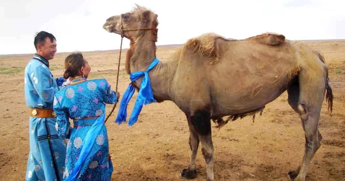 camel-returns-to-owner