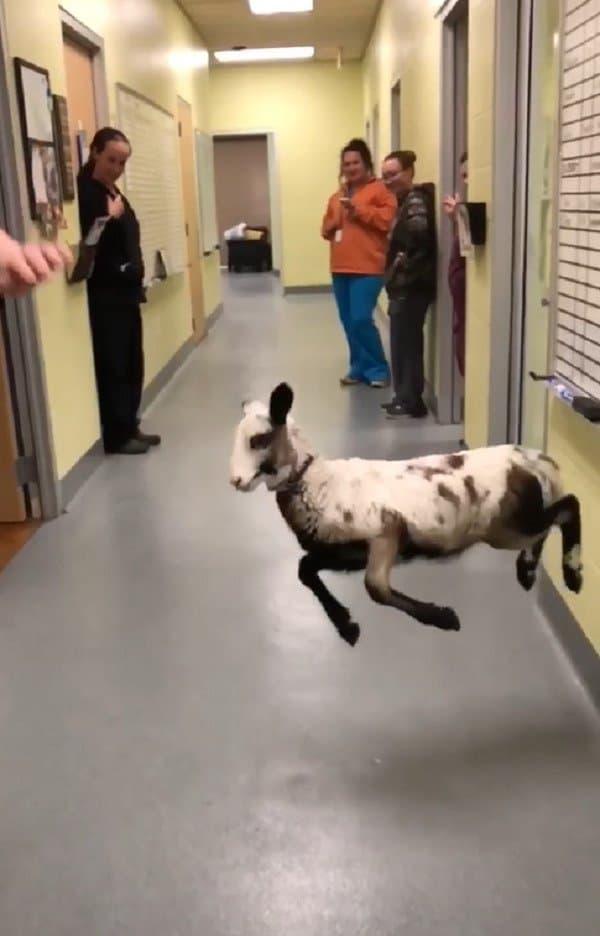 ursula-dancing-lamb