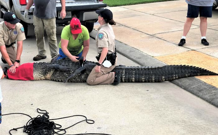 dad saves daughter from alligator-andrew-grande