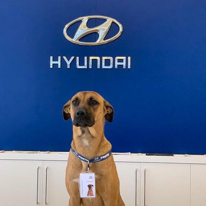 hyundai-gives-job-to-dog-3