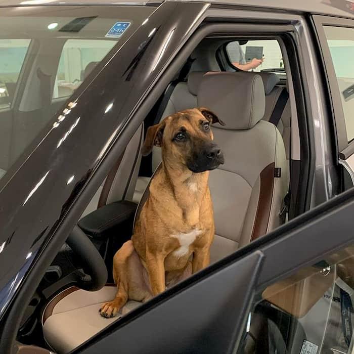 hyundai-gives-job-to-dog-5