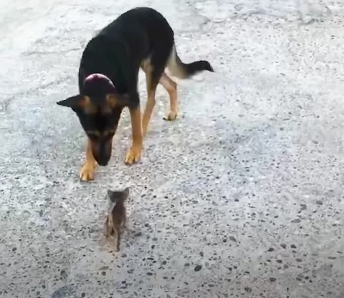 kitten-thinks-dog-is-mother-2