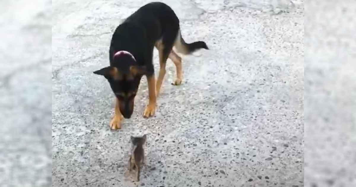 kitten-thinks-dog-is-mother