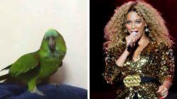 parrot-mimic-beyonce
