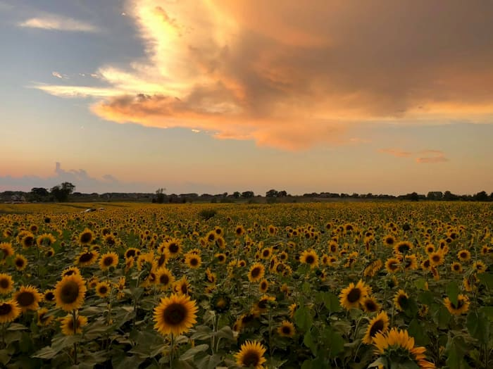 thompson-strawberry-farm-sunflowers-2