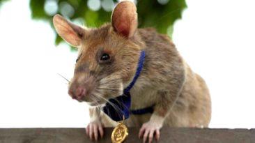 award-winning-rat-magawa