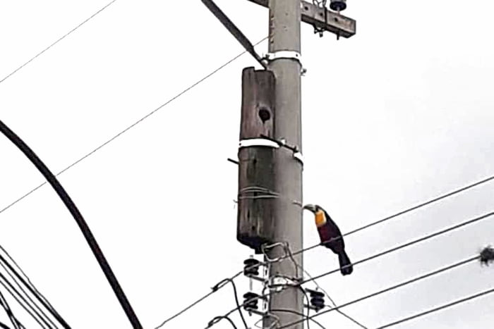 electrical-worker-saves-toucans-3