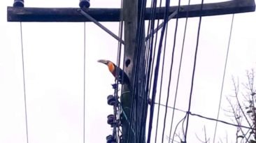 electrical-worker-saves-toucans