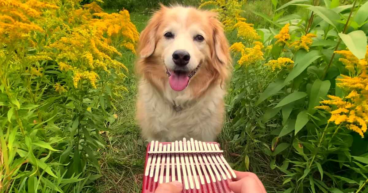 kalimba-golden-retriever