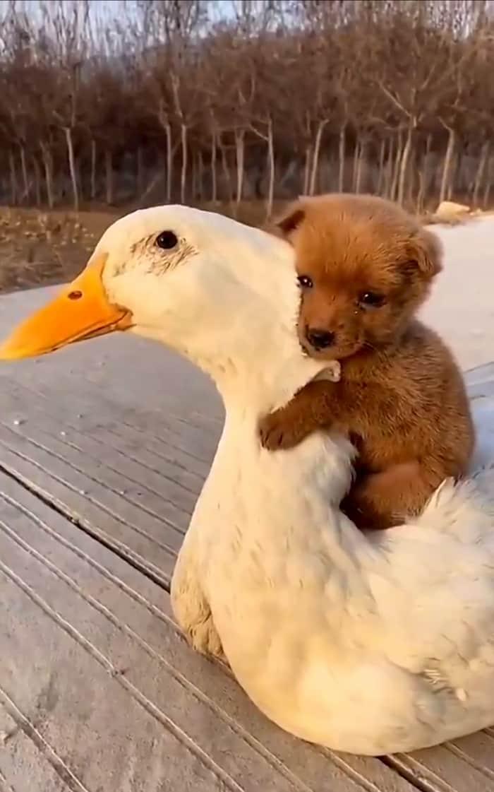 puppy-rides-on-duck