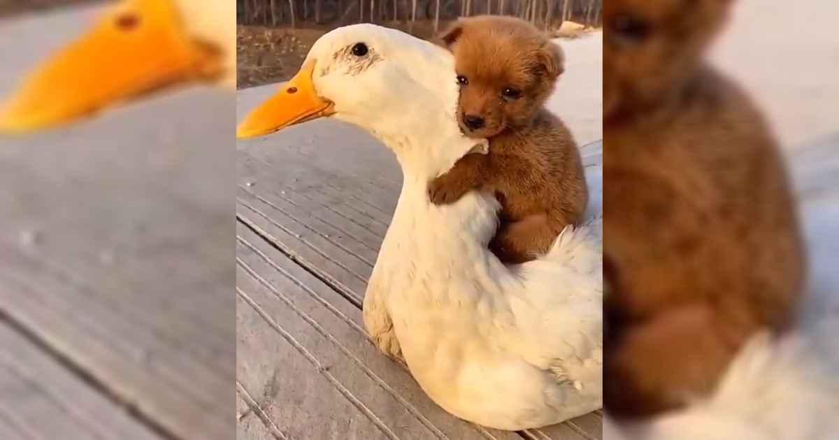 puppy-piggybacks-on-duck