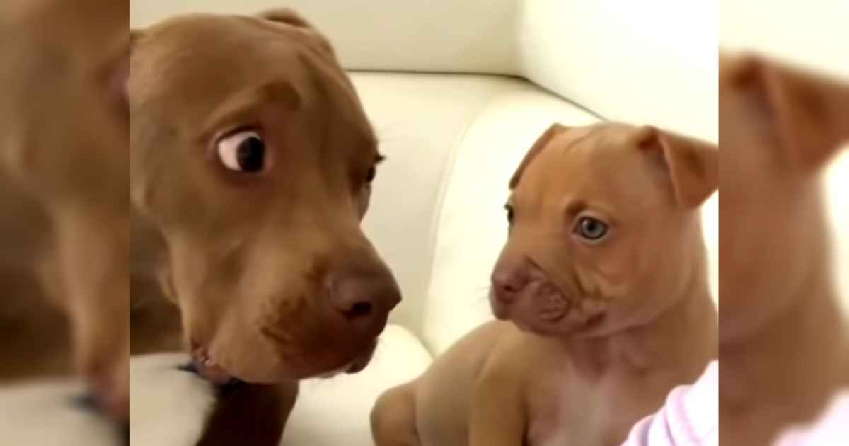 pitbull-meets-puppy