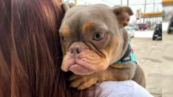 pitbull-with-spina-bifida-jack