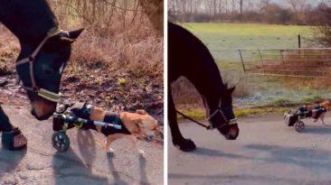 horse-befriends-paraplegic-dog