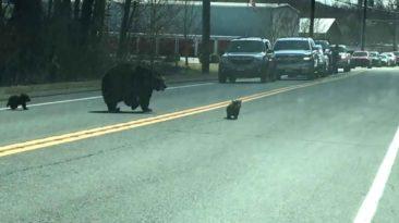 mama-bear-helps-cubs-across-road