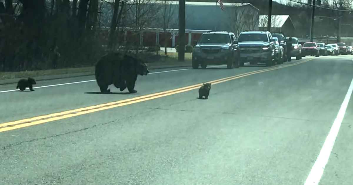 mama-bear-helps-cubs-across-road