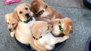 puppies-in-a-bucket