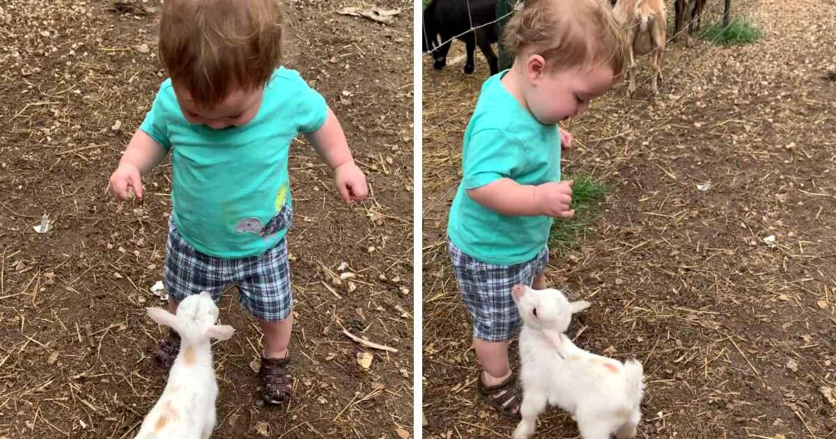 baby-goat-befriends-little-boy