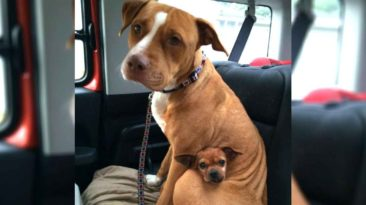 pitbull-and-chihuahua-rescued-together