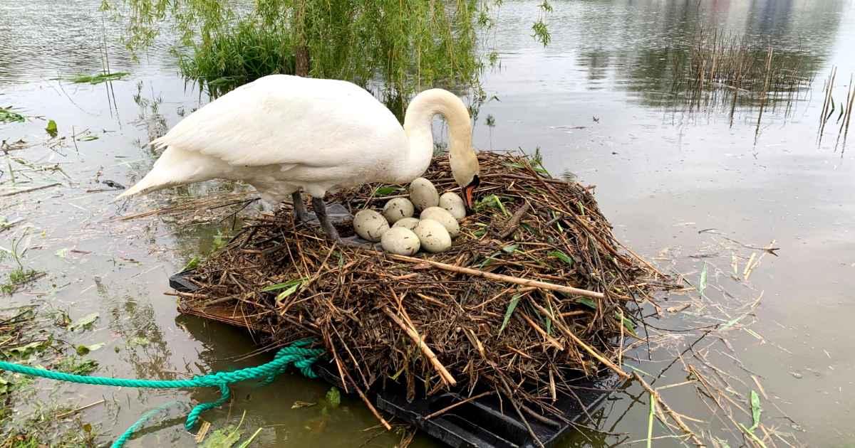 swan-raft-rob-adamson
