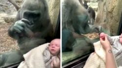 gorilla-meets-newborn-boston-zoo