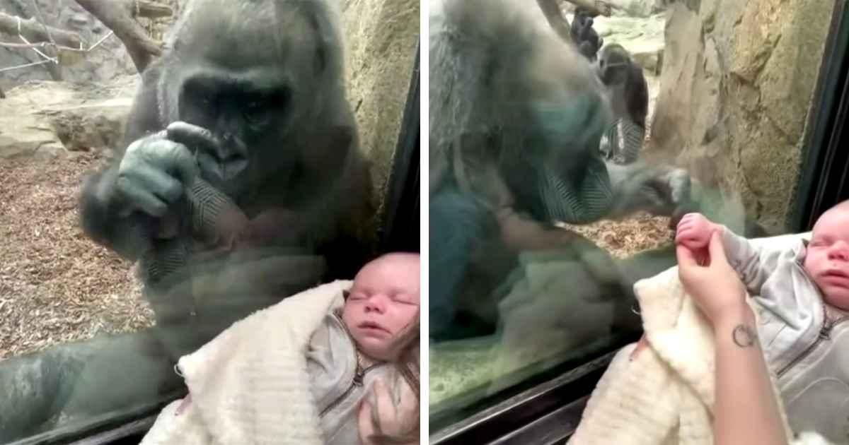 gorilla-meets-newborn-boston-zoo