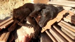 starving-dog-rescued