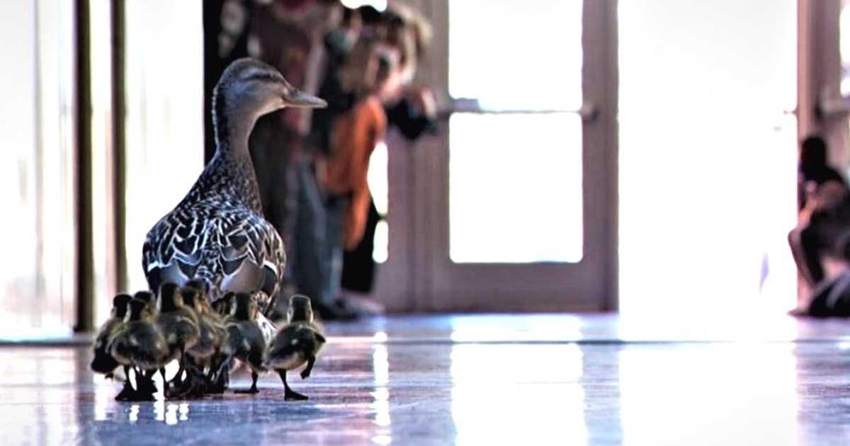 Minnesota elementary school ducklings