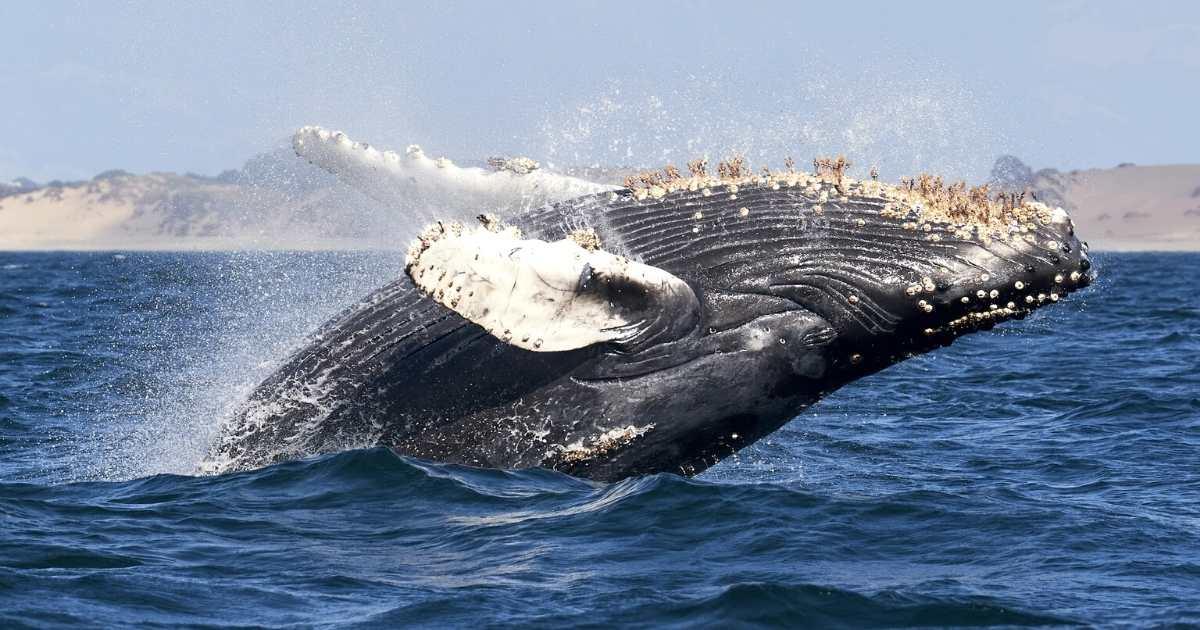 whale swallows man