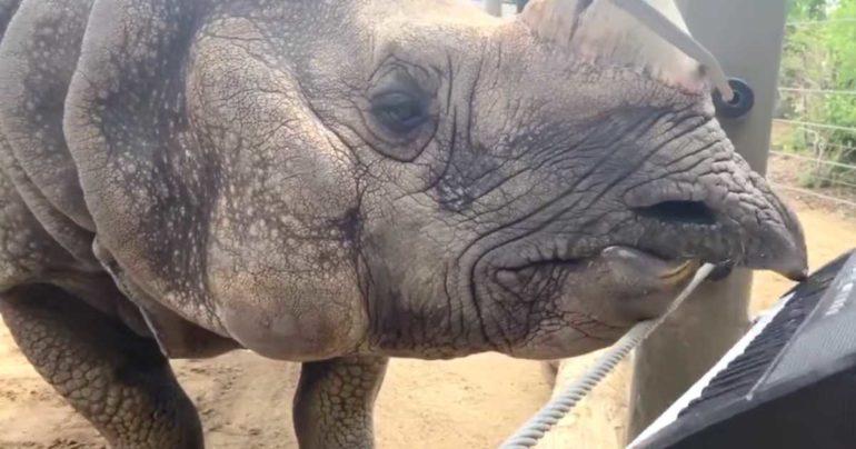 rhino playing piano