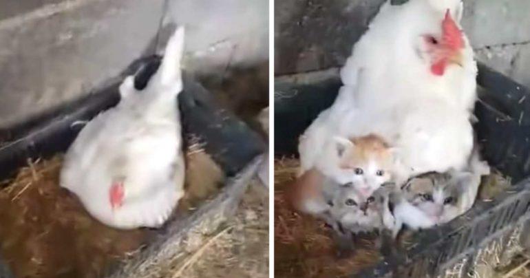 hen sheltering kittens