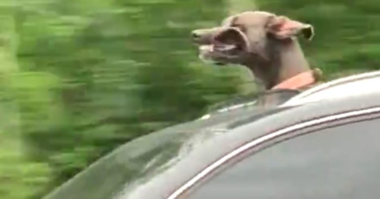 dog out sunroof