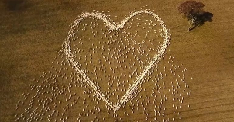 australian farmer sheep heart